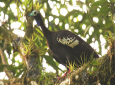 Photo: Trinidad Piping Guan, photo courtesy Wikipedia.