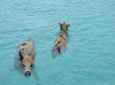 Pigs swimming in The Bahamas. Photo courtesy Ministry of Tourism, The Bahamas