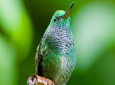 The glittering-throated Emerald Hummingbird was discovered on October 8.
