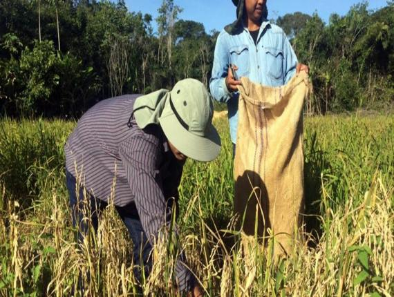 LVV-minister Soeresh Algoe oogst padi op een droogland aanplant.