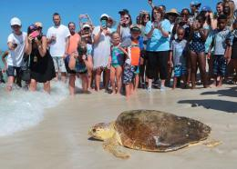 In this July 14, 2016 file photo a loggerhead sea turtle, is released back into the gulf after being treated for pneumonia at Gulf World Marine Institute, in Inlet Beach, Fla. Sea turtles are lumbering back from the brink of extinction, a new study says.  (Heather Leiphart /News Herald via AP, File)