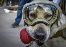Frida, une chienne, spécialiste de la détection de personnes vivantes dans des décombres, a pour mission de chercher des survivants dans les ruines de l'école Enrique Rebsamen à Mexico, le 22 septembre 2017