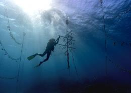 Diver Lenford DaCosta cleans up lines of staghorn coral at an underwater coral nursery inside the Oracabessa Fish Sanctuary, Tuesday, Feb. 12, 2019, in Oracabessa, Jamaica.(AP Photo/David J. Phillip)