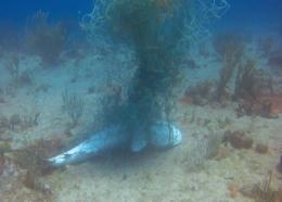 Caribbean Reef Shark (Photo credit: Nature Foundation St Maarten)